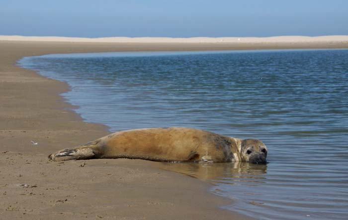 grijze zeehond Halichoerus grypus Noorderhaaks strand Razende Bol Texel