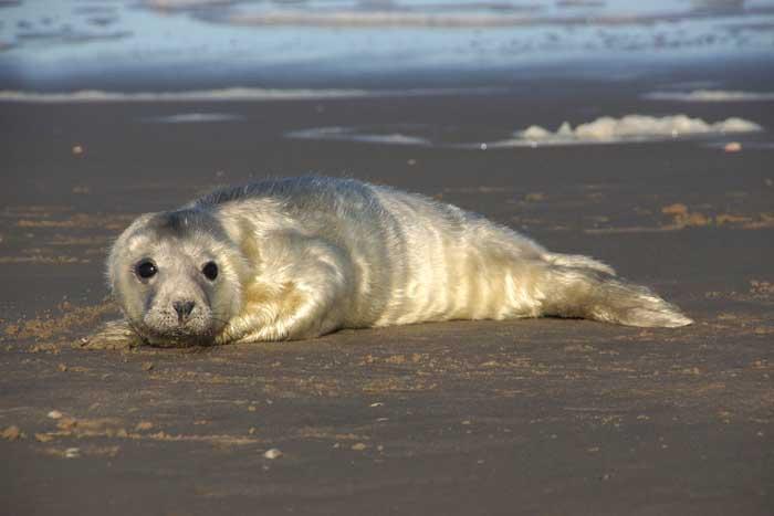 grijze zeehond pup jong witte vacht Halichoerus grypus