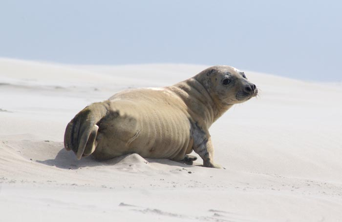 grijze zeehond Halichoerus grypus Noorderhaaks Razende Bol