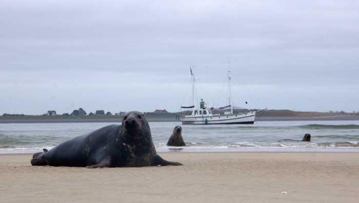 grijze zeehond Razende bol Noorderhaaks Texel