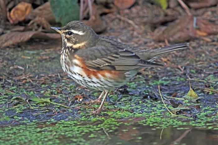 vogels, lijsters, trekvogels, Koperwiek, Turdus iliacus, Texel