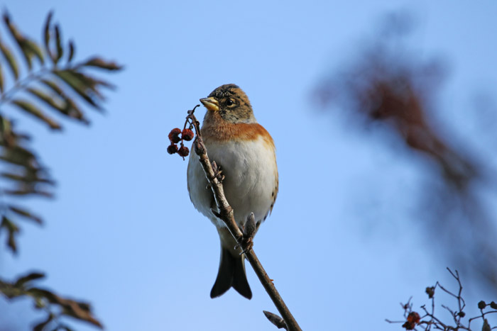 vogels, vinken, trekvogels, Keep, Fringilla montifringilla, Texel