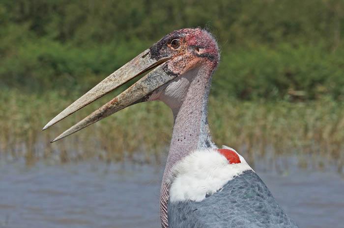 vogels, maraboe, ooievaars, Ziway, Ethiopië