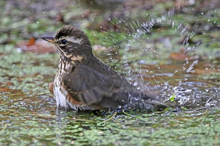 vogels, lijsters, trekvogels, Koperwiek, Turdus iliacus, wassen