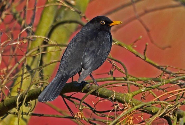 vogels, lijsters, Merel, Turdus merula, Texel