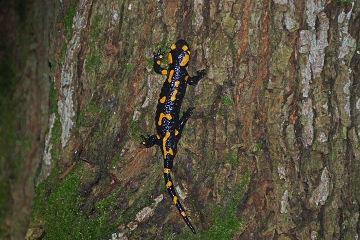 amfibieën, salamanders, Vuursalamander, Bükk Nationaal Park, bergbos, Hongarije