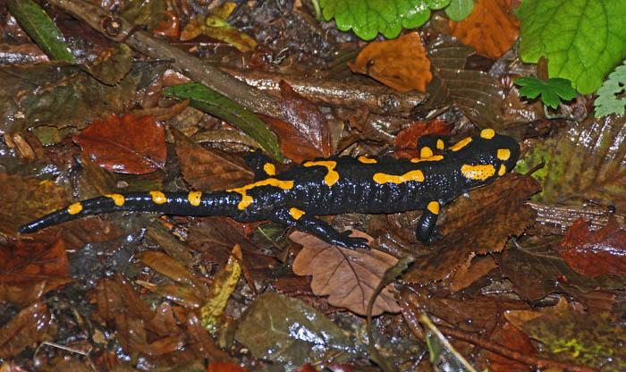 amfibiën, salamanders, Vuursalamander, Salamandra, salamandra, bergbos, Bükk Nationaal Park, Hongarije