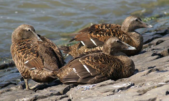 watervogels, eenden, Eidereen, Somateria mollissima, vrouwtje, Texel, waddengebied