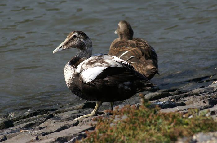 watervogels, eenden, Eidereend, mannetje, Somateria mollissima, dijk Texel, waddengebied