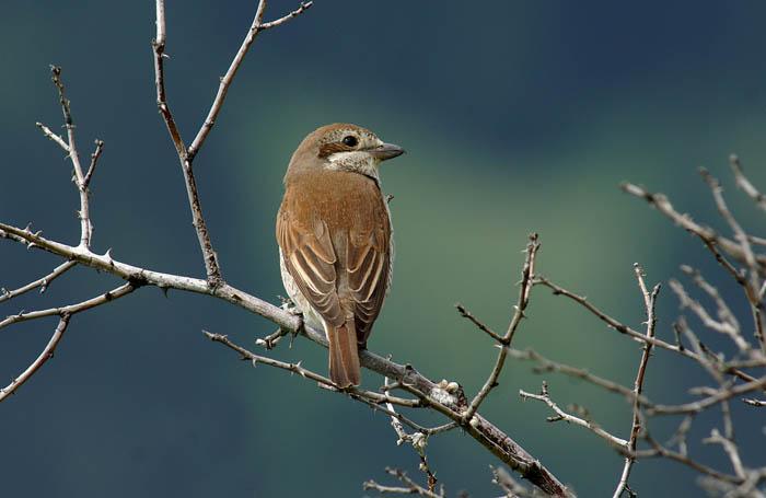 vogels, klauwieren, Lanius collurio, Grauwe Klauwier, Red-backed Shrike, Ardez, Graubünden, Zwitserland