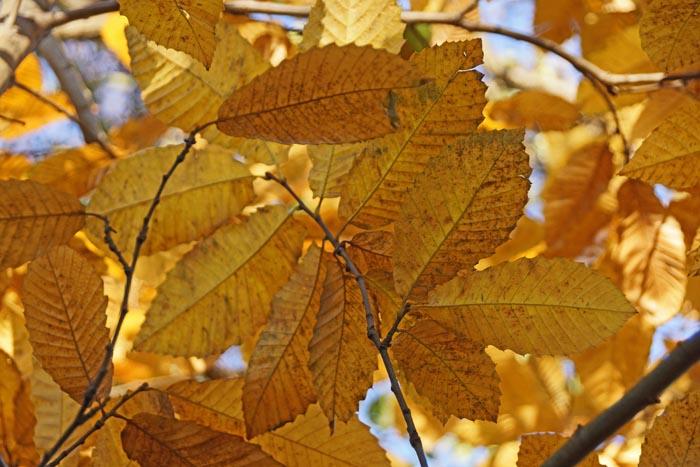 bomen, Tamme Kastanje, Castanea sativa, Sweet Chestnut, herfst