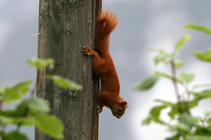Gewone Eekhoorn, Rode Eekhoorn, Eurasian Squirrel, Sciurus vulgaris, knaagdieren, Bos-cha, Graubünden, Zwitserland