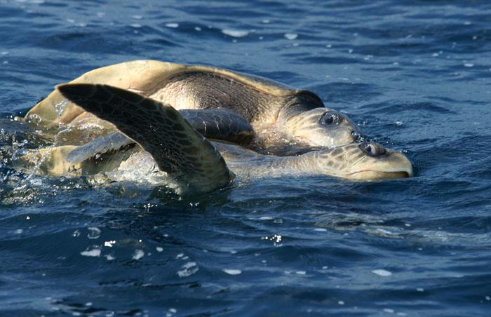 Dwergzeeschildpad, Warana, Olive Ridley Sea Turtle, Lepidochelys olivacea, Indische Oceaan, Matara, Sri Lanka