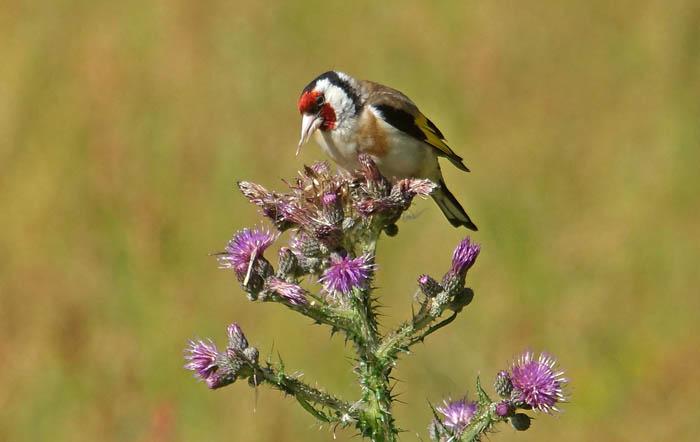 zangvogels, zaadeters, Putter, Goldfinch, Carduelis carduelis, Akkerdistel, foerageren,