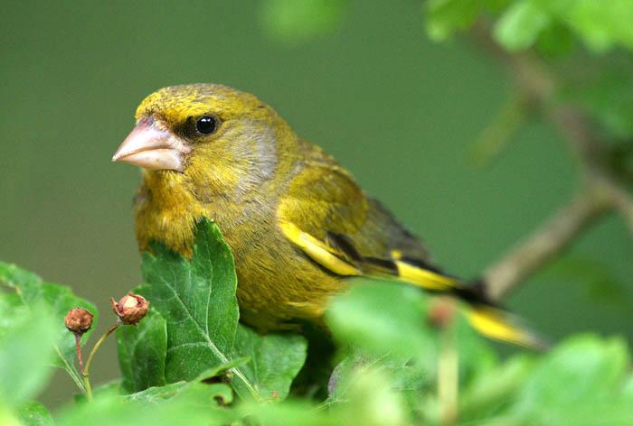 zangvogels, zaadeters, Groenling, Greenfinch, Carduelis chloris, mannetje zomerkleed