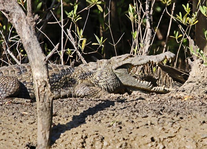 reptielen, krokodillen, Nijlkrokodil, Crocodylus niloticus, Kissi Bolong, Tendaba, Gambia
