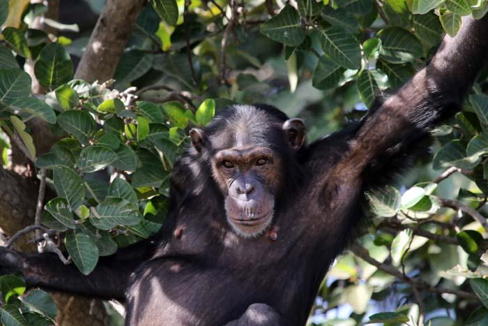 mensapen, Chimpansee, Chimpanzee, Pan troglodytes, Baboon Islands, Gambia