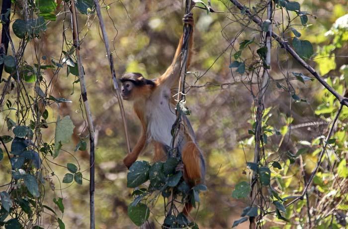 apen, Westafrikaanse Colobus, Western red Colobus, Piliocolobus badius, Gambia-rivier, Kuntaur, Gambia