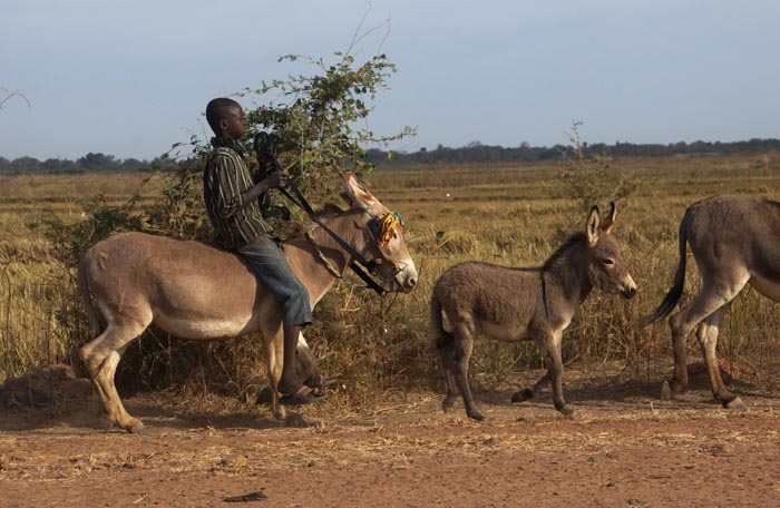 ezels kind Gambia Jahali