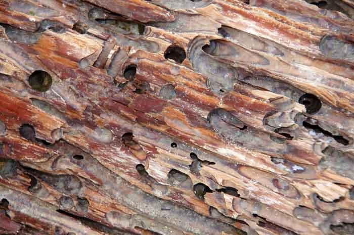 Paalworm tweekleppige Teredo scheepsonderdeel