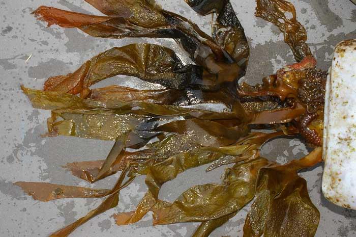 bruinwier Saccorhiza furbelows substraat aanspoelsel