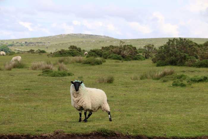 Cornwall Bodmin Moor schaap