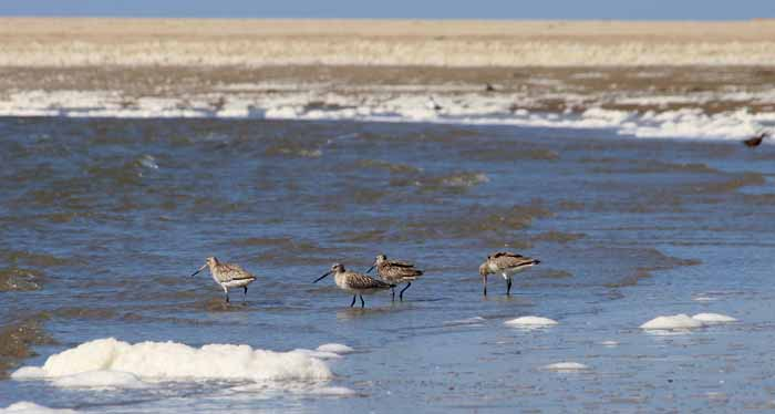 Rosse grutto's Limosa lapponica Texel strand