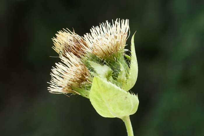 Moesdistel Cirsium Oleraceum
