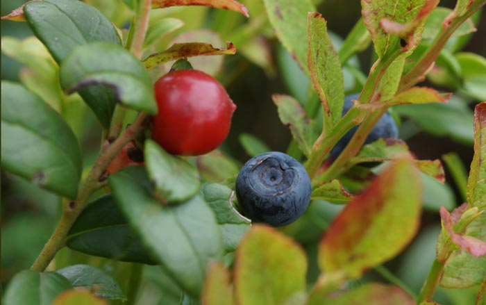 Rode bosbes vossenbes blauwe bosbesVaccinium myrtillus V.vitis-idae,
